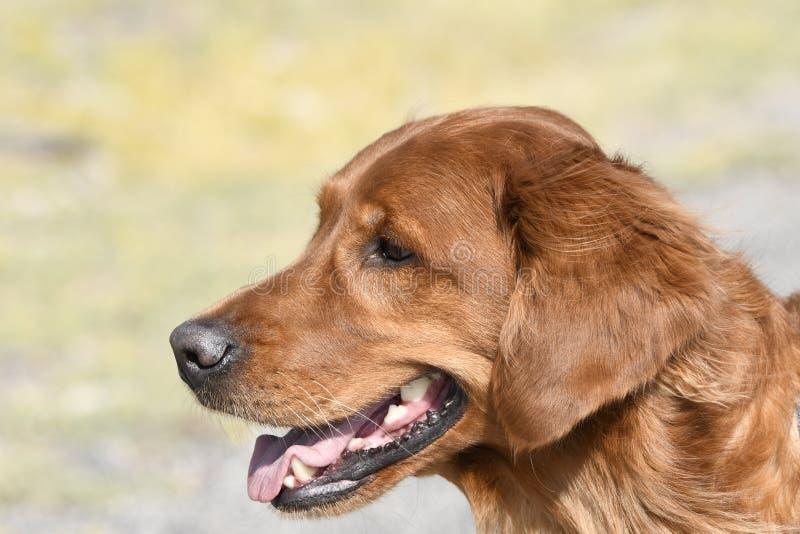Close-up van een hondgolden retriever in Yellowstone royalty-vrije stock afbeeldingen