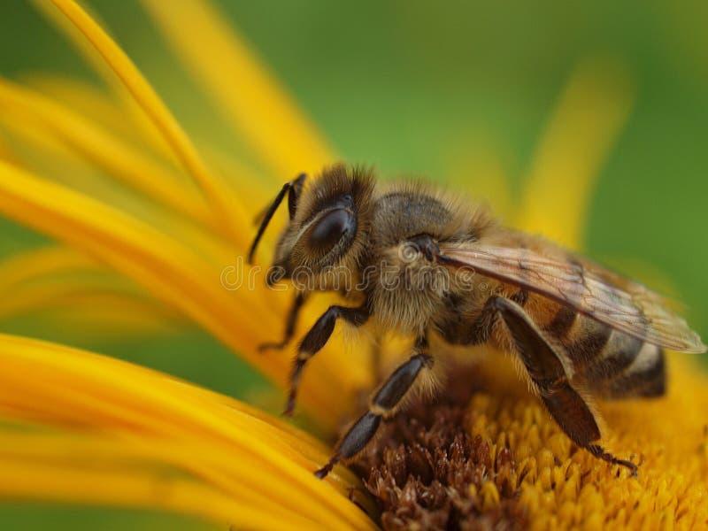 Close-up van een honingbij op een gele bloem stock foto's