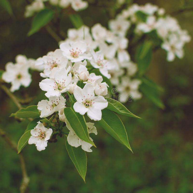 Close-up van een hoogtepunt van de appeltak van bloesem De lente Vierkant formaat Uitstekende stylization royalty-vrije stock fotografie