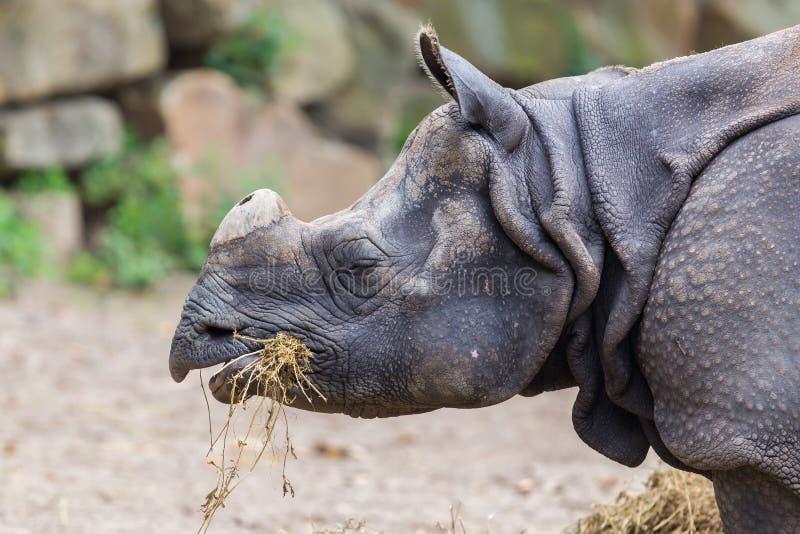 Close-up van een Indische rinoceros royalty-vrije stock afbeelding