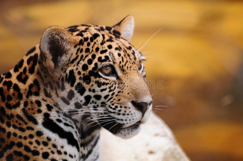 Close-up van een Jaguar stock foto