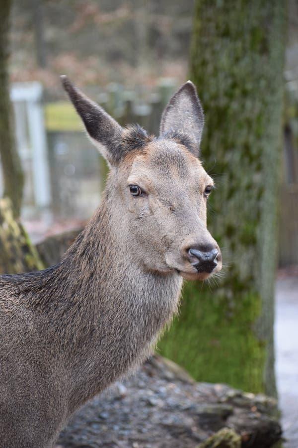 Close-up van een jong rood hert stock afbeeldingen