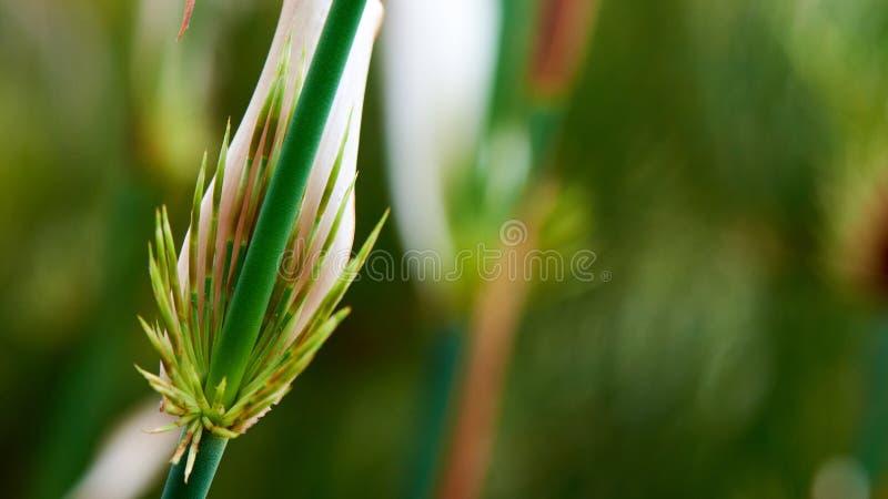 Close-up van een jonge bamboespruit royalty-vrije stock fotografie