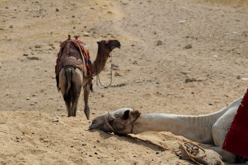 Close-up van een kameelslaap in een woestijn De rand van Kaïro stock foto