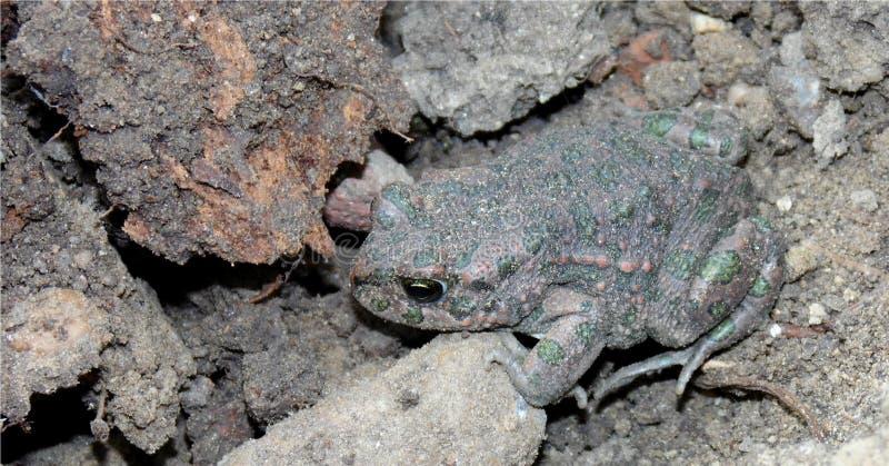 Close-up van een kikker die in de grond leeft, amfibie met groene en rode vlekken stock foto's