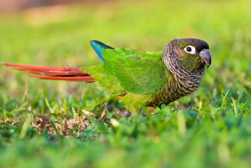Close-up van een kleurrijke Conure stock afbeeldingen