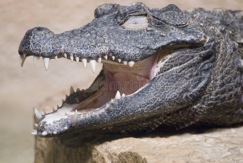 Close-up van een Krokodil royalty-vrije stock afbeeldingen