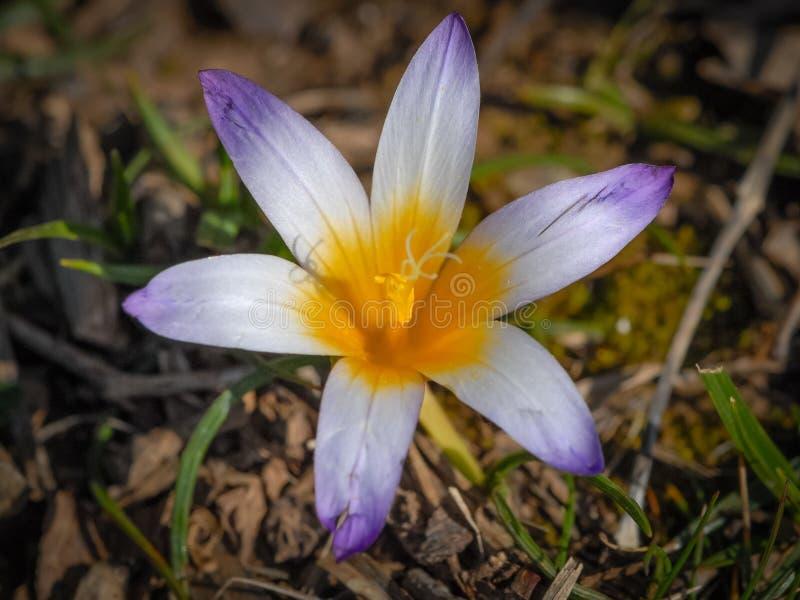 Close-up van een krokusbloem in de lente royalty-vrije stock fotografie