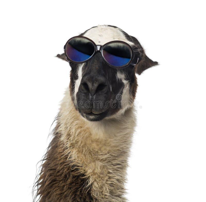 Close-up van een Lama die zonnebril dragen stock afbeeldingen