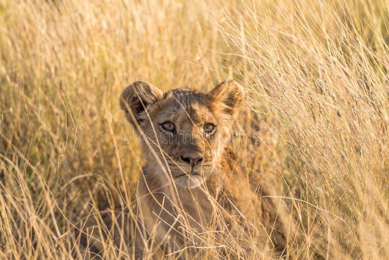 Close-up van een leeuwwelp in de Kalahari royalty-vrije stock afbeelding