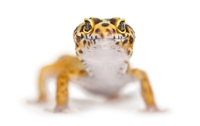 Close-up van een luipaardgekko, royalty-vrije stock foto