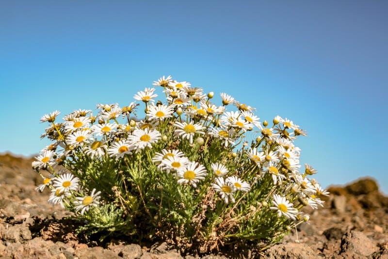 Close-up van een madeliefje van Tenerife busch royalty-vrije stock foto's