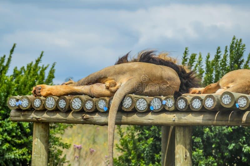 Close-up van een majestueuze jonge bruine leeuw tijdens een Zuidafrikaanse Safari royalty-vrije stock foto's