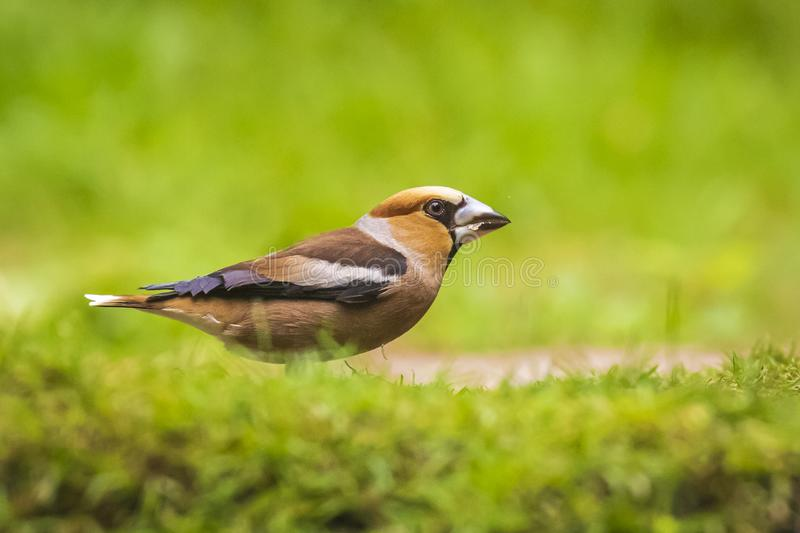 Close-up van een mannelijke die hawfinch zangvogel van Coccothraustes coccothraustes in een bos wordt neergestreken royalty-vrije stock foto's