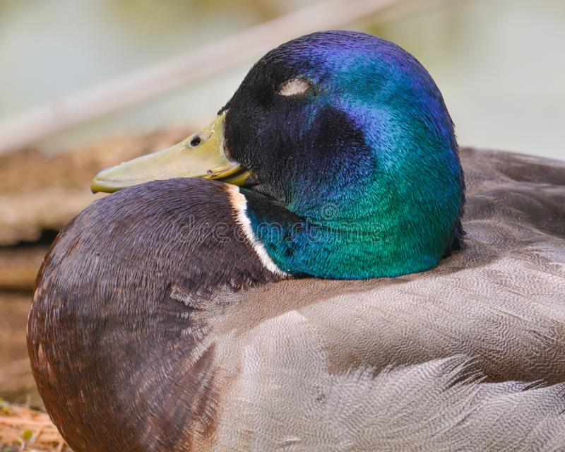 Close-up van een mannelijke wilde eendeend met iriserend groen hoofd - dat in alluviaal gebied van de Rivier van Minnesota in de  stock foto
