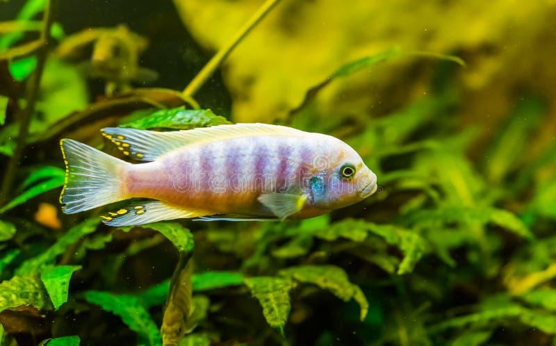 Close-up van een meer Malawi cichlid, kleurrijke tropische vissen, populair aquariumhuisdier van Afrika stock afbeelding