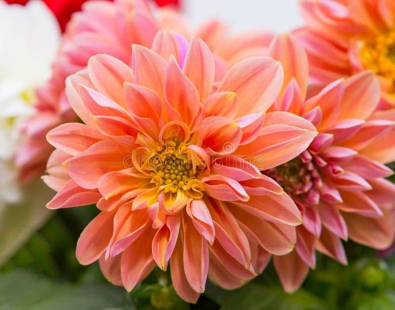 Close-up van een mooie Dahliabloesem stock foto's