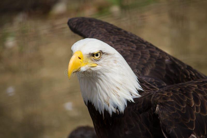 Close-up van een mooie kale adelaar in het bos royalty-vrije stock fotografie