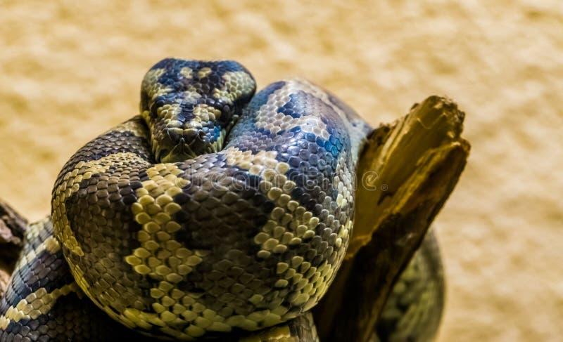 Close-up van een noordwestelijke tapijtpython op een boomtak, tropische slang van Australië stock foto