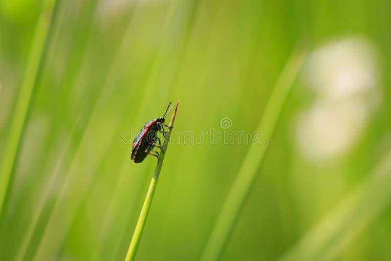 Close-up van een oleracea van het insecteurydema van het schildinsect als t ook wordt bekend dat royalty-vrije stock fotografie