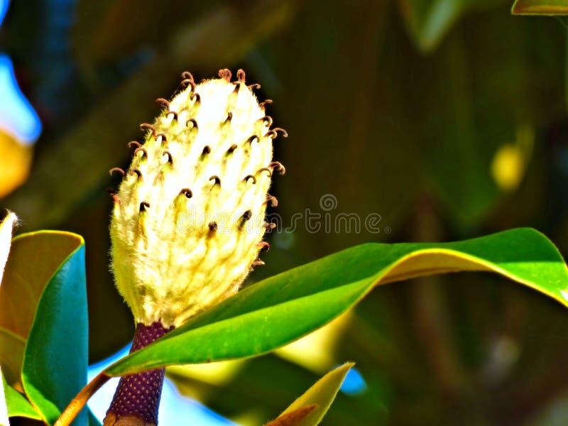 Close-up van een onrijpe bloesem van de Magnoliaboom stock foto