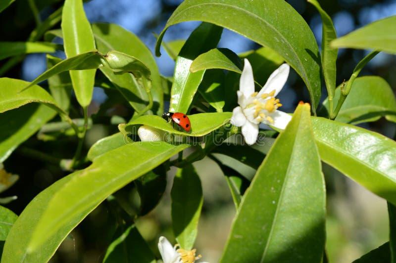 Close-up van een Onzelieveheersbeestje op Clementine Leaf, Aard, Macro royalty-vrije stock afbeeldingen