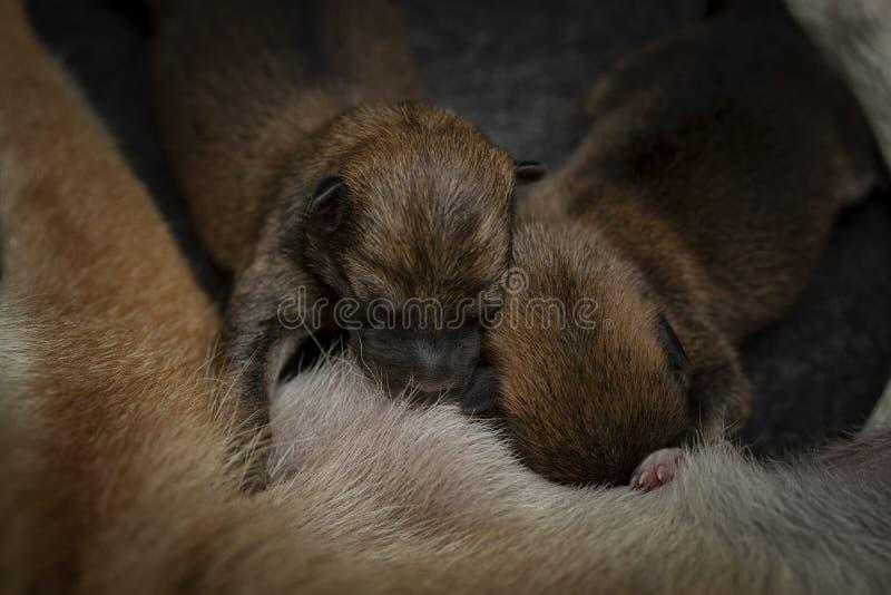 Close-up van een Pasgeboren puppy van Shiba Inu De Japanse hond van Shiba Inu Mooie bruine het puppykleur van shibainu en mamma 1 stock afbeeldingen