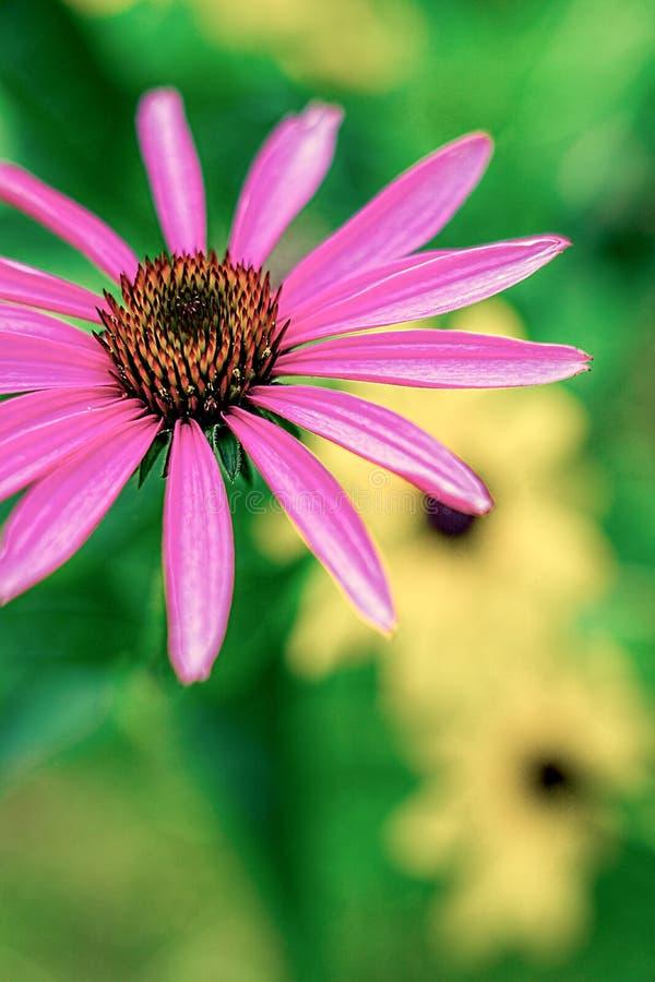 Close-up van een Purpere Kegelbloem royalty-vrije stock foto