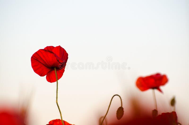 Close-up van een rode papaverbloem stock afbeelding