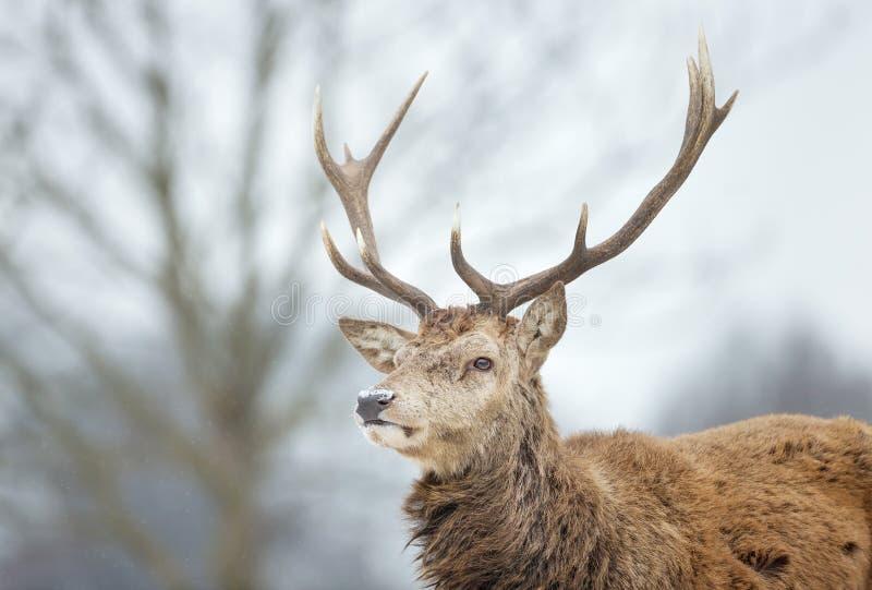 Close-up van een rood hertenmannetje in de dalende sneeuw royalty-vrije stock afbeelding