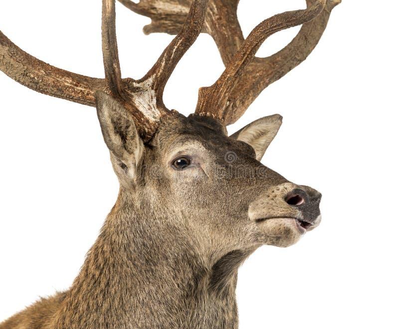 Close-up van een Rood hertenmannetje voor een witte achtergrond royalty-vrije stock afbeelding