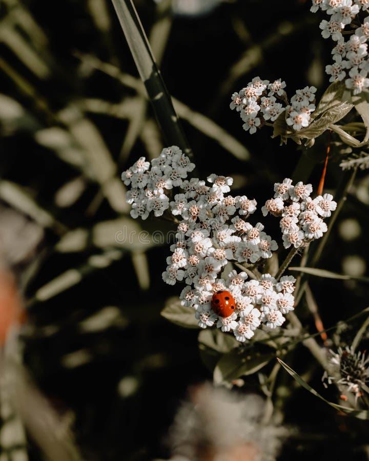 Close-up van een rood lieveheersbeestje op witte bloemen in een tuin wordt geschoten die royalty-vrije stock fotografie