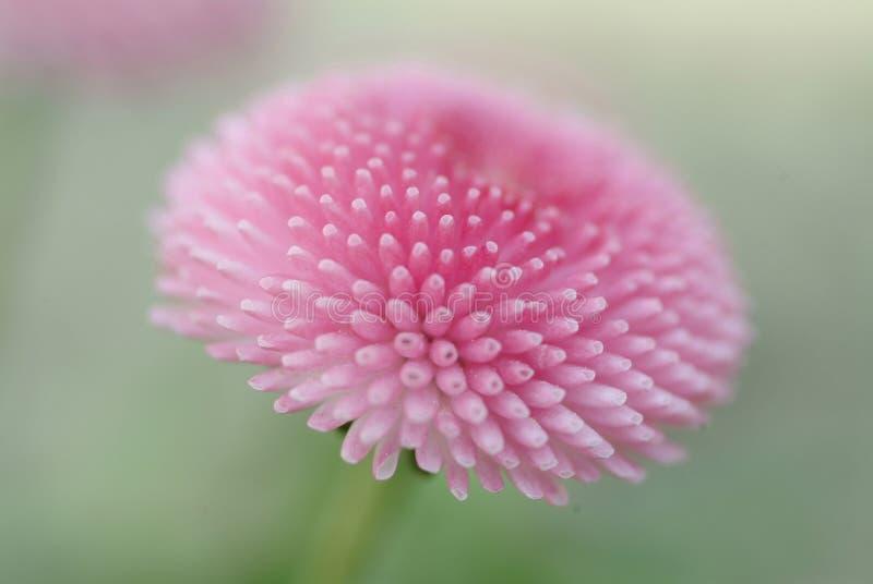 Close-up van een roze bloem stock afbeelding