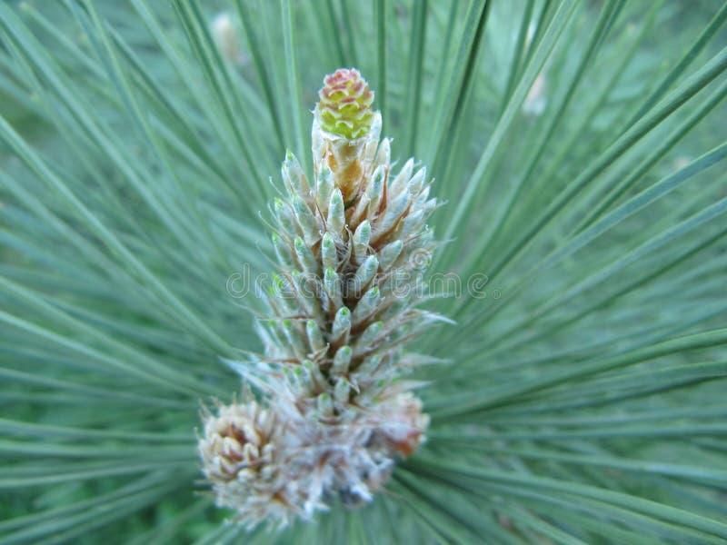 Close-up van een tak van een pijnboomtak met naalden en een toekomstige kegel stock fotografie