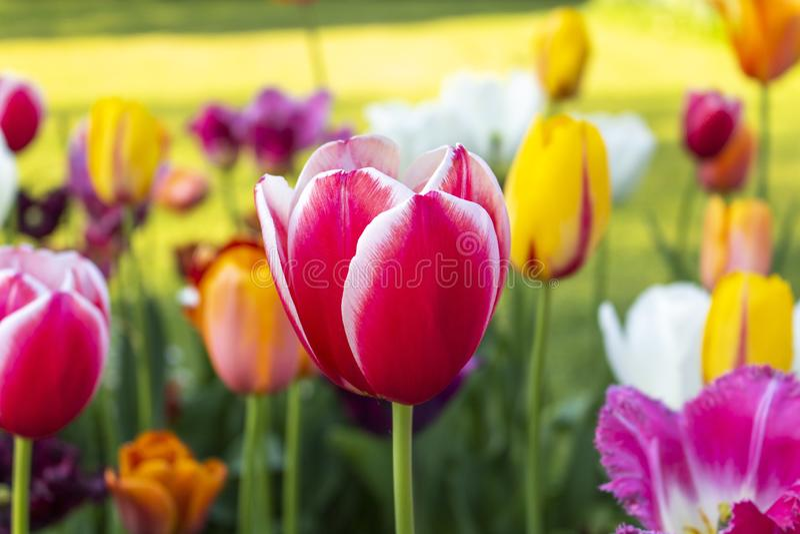 Close-up van een tulp stock afbeeldingen