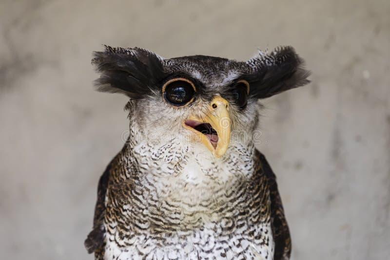 Close-up van een uil met een gekke en grappige gezichtsuitdrukking royalty-vrije stock afbeeldingen