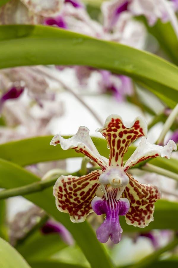 Close-up van een Vanda Tricolor-orchideebloem royalty-vrije stock foto's