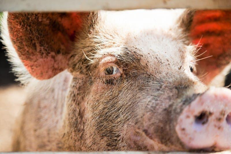 Close-up van een varkensoog stock fotografie