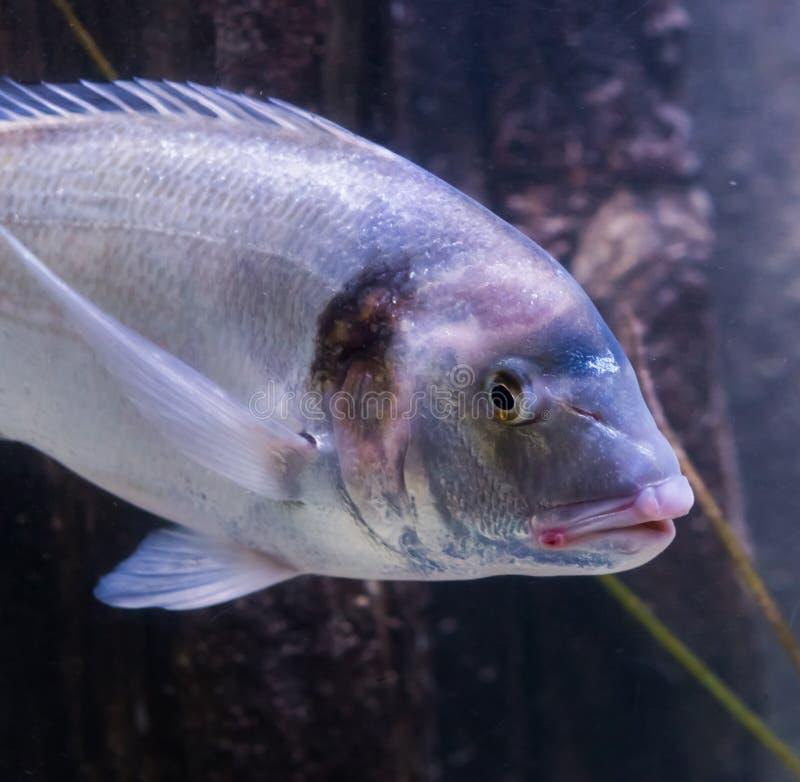 Close-up van een vergulde hoofd overzeese brasem, een grote vis van de Atlantische Oceaan royalty-vrije stock foto