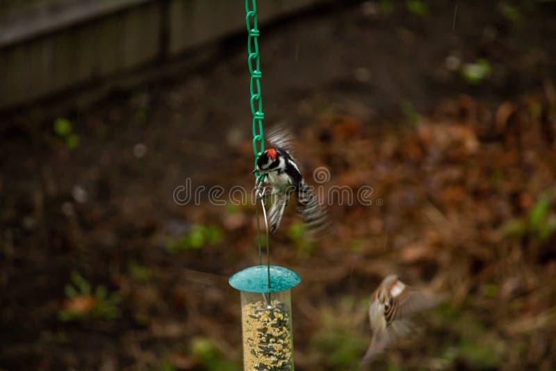 Close-up van een vinktype van vogels die aan een birdfeederketen hangen met vage achtergrond stock afbeelding
