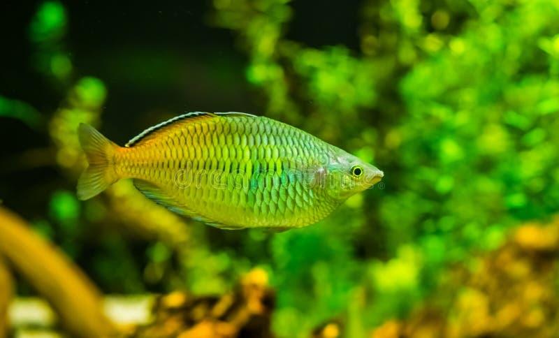 Close-up van een vis van de boesemaniregenboog, populaire en kleurrijke vissen in aquicultuur, tropische Bedreigde dierlijke spec stock fotografie