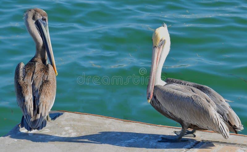 Close-up van een volwassen Noordamerikaanse bruine pelikaan die zich met een jongere vogel op de rand van een dok bevinden stock foto's