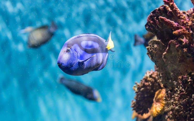 Close-up van een vorstelijk blauw zweempje in aquariummilieu royalty-vrije stock fotografie