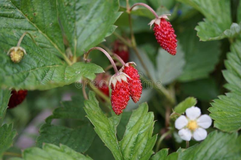 Close-up van een wilde aardbei met bessen en bloemen stock foto