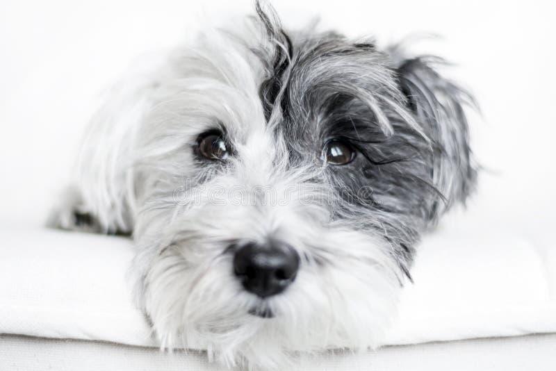 Close-up van een witte hond met zwart oor stock fotografie