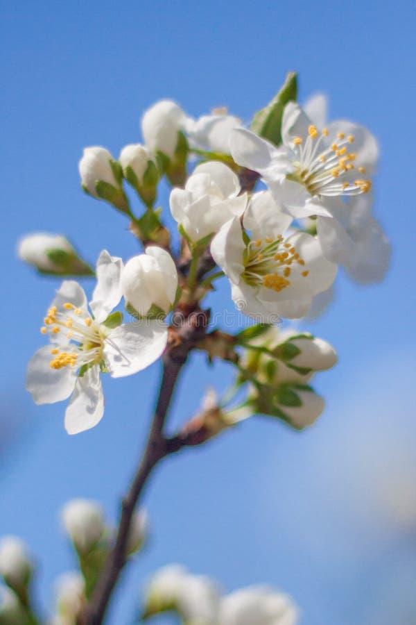 Close-up van een witte kersenbloem op een heldere zonnige de lentedag Zachte nadruk stock afbeeldingen