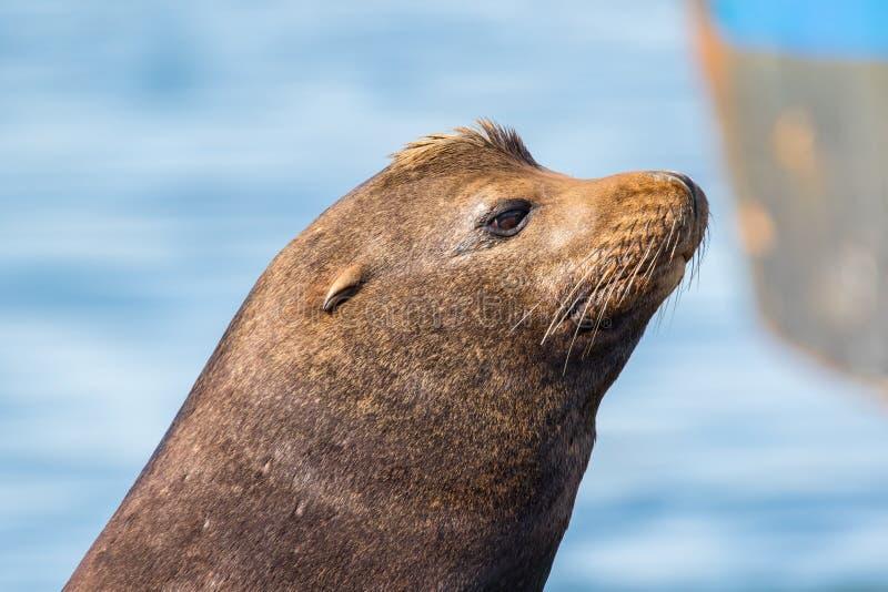 Close-up van een Zeeleeuw van Californië stock fotografie