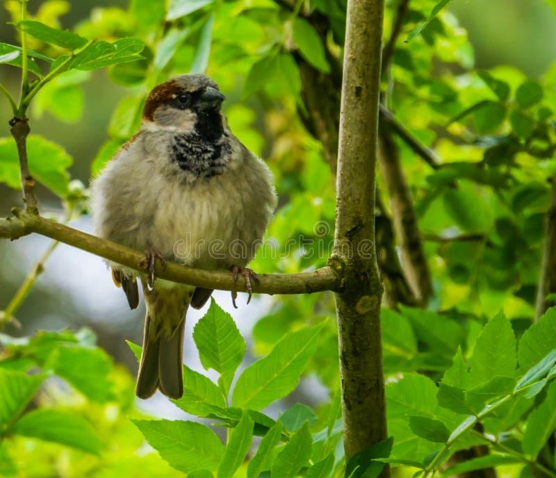 Close-up van een zitting van de huismus in een boom, Gemeenschappelijke vogelspecie van Eurasia, aardachtergrond royalty-vrije stock afbeeldingen