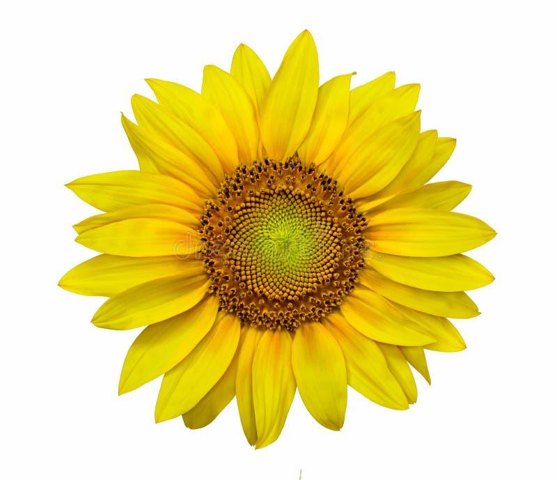 Close-up van een zonnebloem in hoge resolutiebeeld stock fotografie