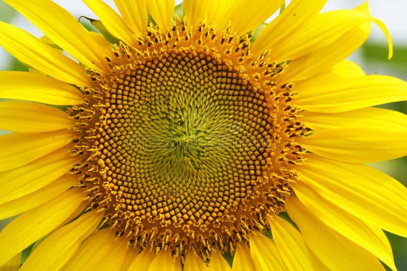 Close-up van een zonnebloem op een gebied royalty-vrije stock fotografie